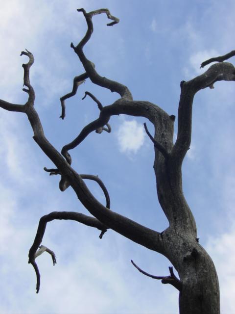 dead tree.JPG