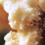 Ant and Popcorn